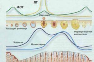лютеинизирующая фаза