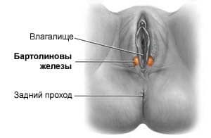 бартолиевые железы