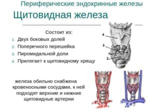 периферические эндокринные железы