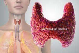 роль щитовидки