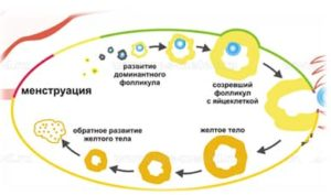фолликулы яичника