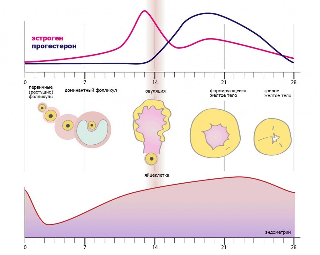 схема жизни яйцеклетки