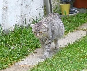 Симптомы и лечение водянки у кошек