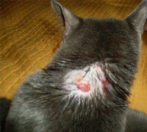 Признаки и лечение шишки у кошки