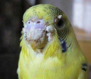 Почему у волнистого попугая может быть нарост на носу